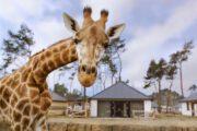 Giraffe bij de vakantiehuizen van de Beekse Bergen